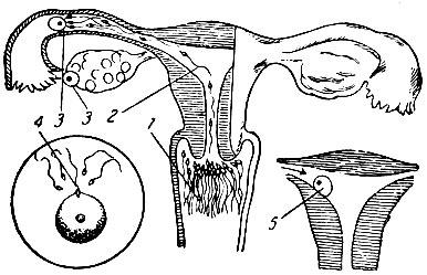 Почему сперма вытекает из влагалища?