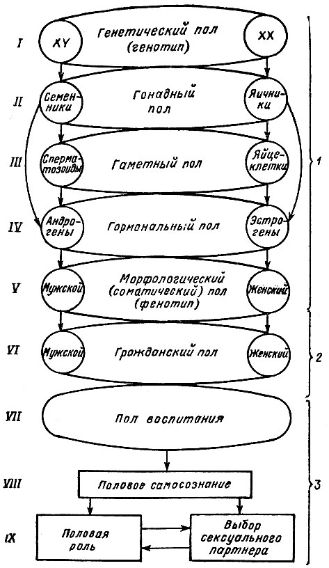 Схема формирования пола у