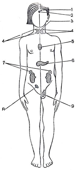 Расположение желез внутренней