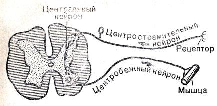 Рефлекторная дуга безусловного рефлекса схема 998