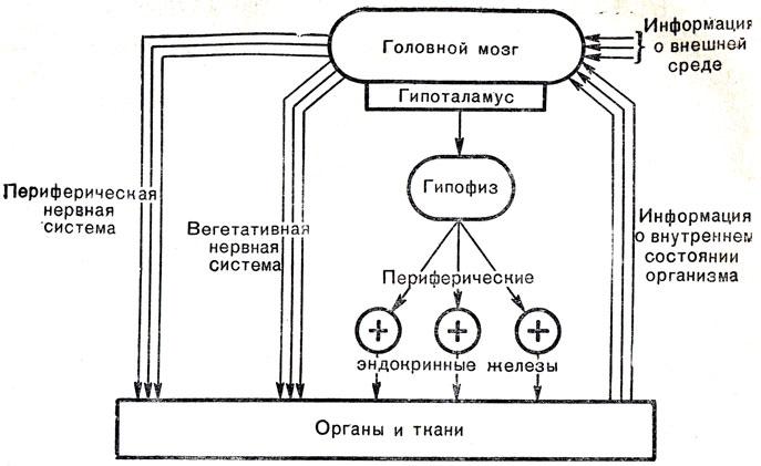 Нейро-эндокринная регуляция