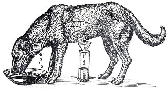 собаки с фистулой желудка