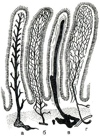 Рис. 57.  Схема строения ворсинок: а - вены; б - артерии; в - лимфатический сосуд и гладкие мышцы; г - нервная сеть.