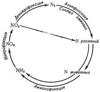 Схема круговорота азота в