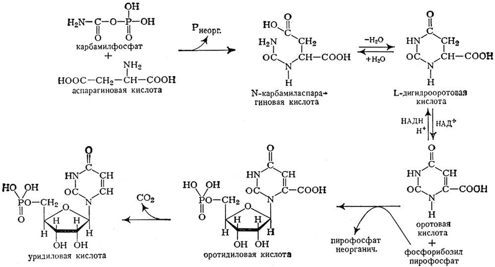 Схема биосинтеза пиримидиновых