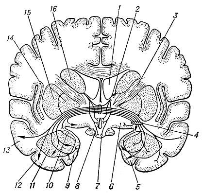Схема фронтального среза мозга